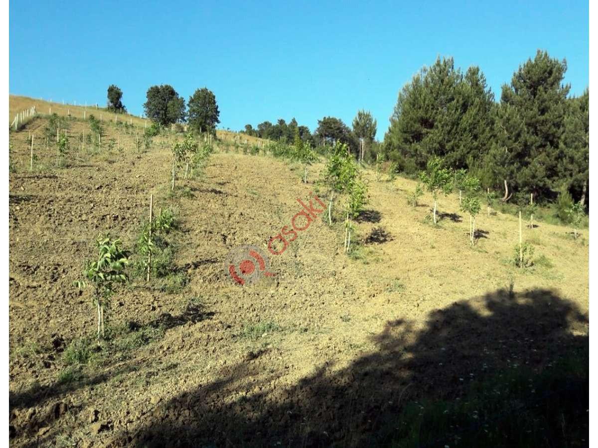Sakarya Gevye'de Içerisinde 500 Adet Ceviz Ağaçlı Arazi - Büyük 5