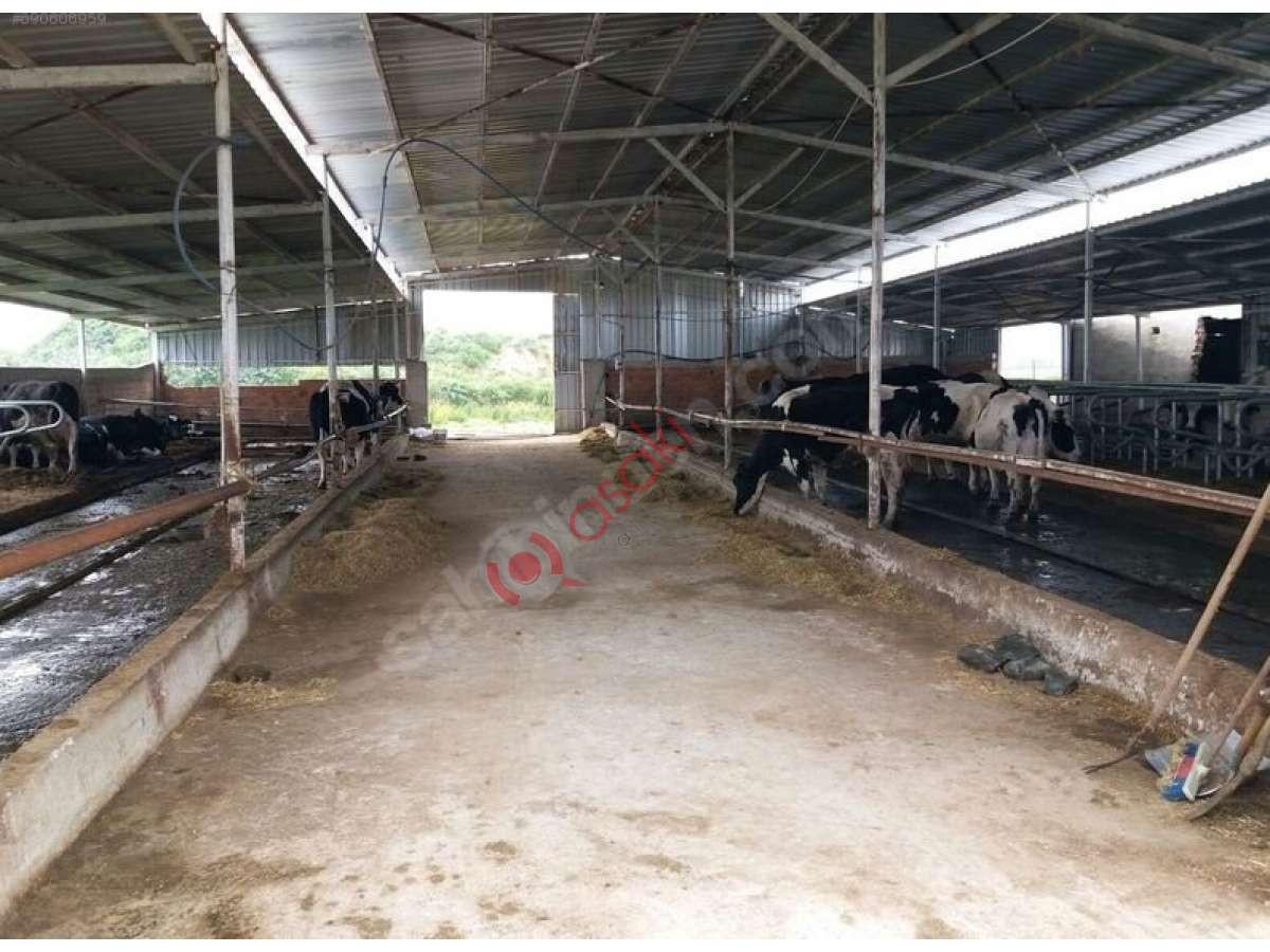Saray Kadıköy De 160 Büyük Baş Hayvan çiftliği Acil Satilik - Büyük 0